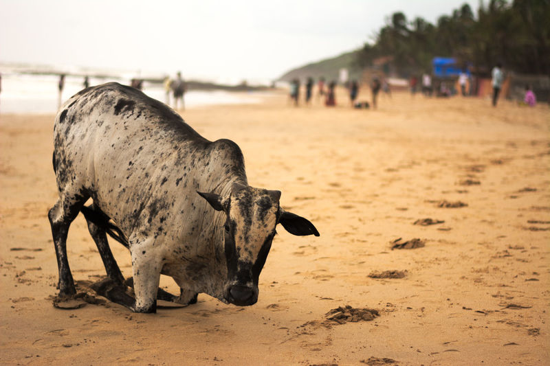 Portrait of cow on beach