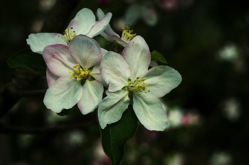 Flower Close-up Beauty In Nature Fragility No People Petal Freshness Apple Flower Flower Head