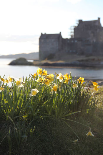 Architecture Beauty In Nature Castle Ruins Daffodils Eilean Donnain Focus On Foreground Freshness Nature Scenic Scenics Scottish Highlands, Scotland, Highlands, Oban, Isles, Colour, Sea, Rocky, Rugged, Slate, Crashing Waves, Surf, Sky, Cloud, Remote, Great Britain, Natural Beauty, Landscape, Seascape, Waves Tourist Destination Yellow