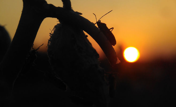 Insect and Sunset Nature Nature Insecto Nature Photography Nature Sunset Nature Sunset Beauty Silhouette Insect Island Branches. On The Evening Sun Animal Themes Beautiful Sunset Close-up Day Nature Nature Insects Nature_collection Naturelovers One Person Orange Color Outdoors People Real People Silhouette Silhouette Insect Sky Sun Sunset Tree