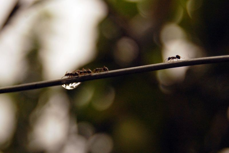Close-Up Of Ants On Twig