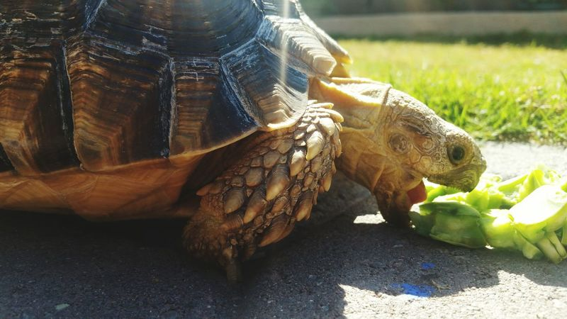 Mmmmm, cactus..Sulcata Tortoise Cactus Eating Open Mouth Nature's Diversities