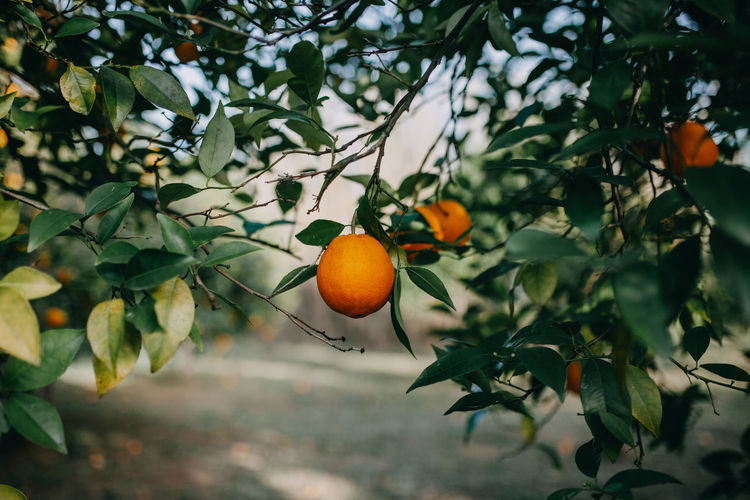 Orange fruits on tree