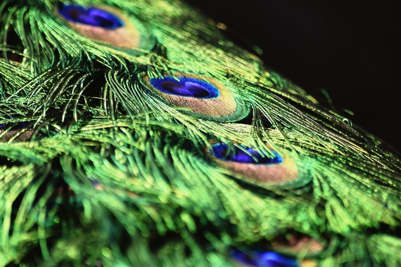 Natural solutions Metallic Blue Green Color Selective Focus Multi Colored Close-up Feather  Animal Themes No People Green Color Peacock Feather Bird Animal Wildlife Softness Peacock Natural Pattern