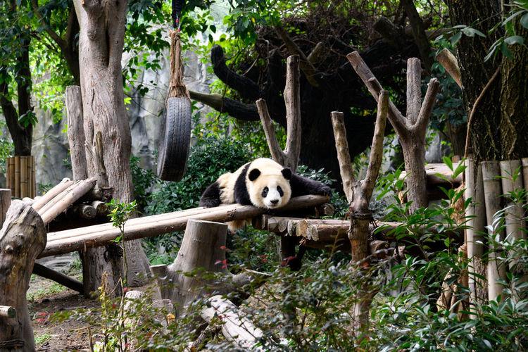 Giant Panda at