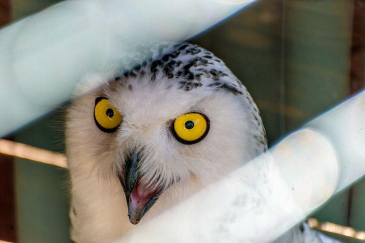 Portrait of barn owl in zoo