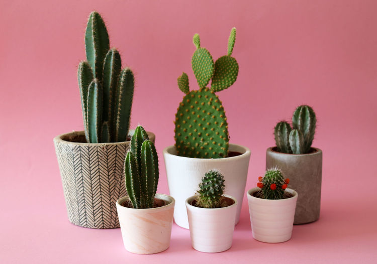 Close-Up Of Potted Cactus Against Pink Background