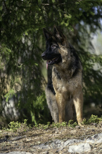 Animal Animal Themes Animals In The Wild Canine Day Dog Domestic Domestic Animals German Shepherd Land Mammal Motion Nature No People One Animal Outdoors Pets Plant Running Selective Focus Tree Vertebrate