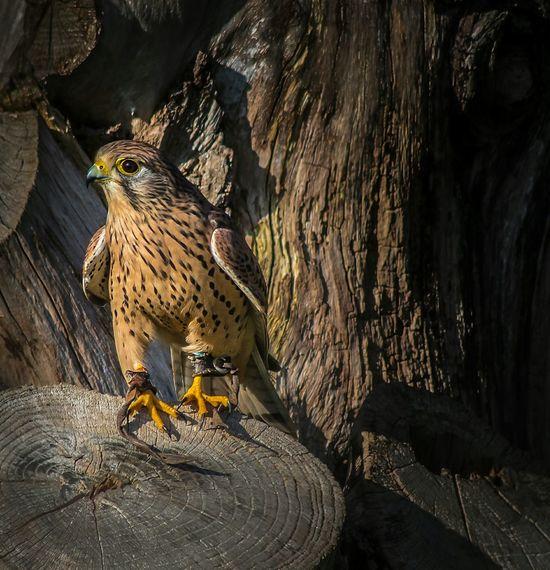 Peregrine falcon Peregrine Falcon Falconry Display Eye4photography  EyeEm Nature Lover Eyem Best Shots Nature_collection Birds