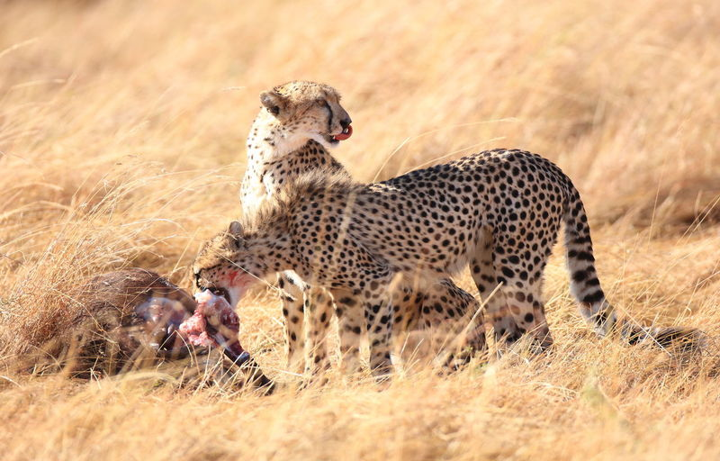 Cheetahs hunted wildebeest
