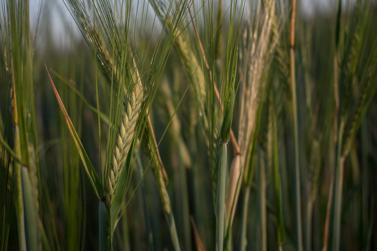 Close-up of wheat growing on field