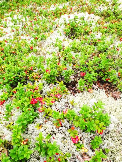 Lingonberries and moss Beauty In Nature Close-up Day Flower Freshness Green Color Growth Lingonberries Moss Nature No People Outdoors Plant