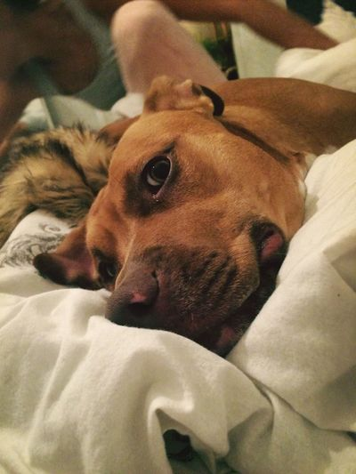 Dog Pets Tired Bed