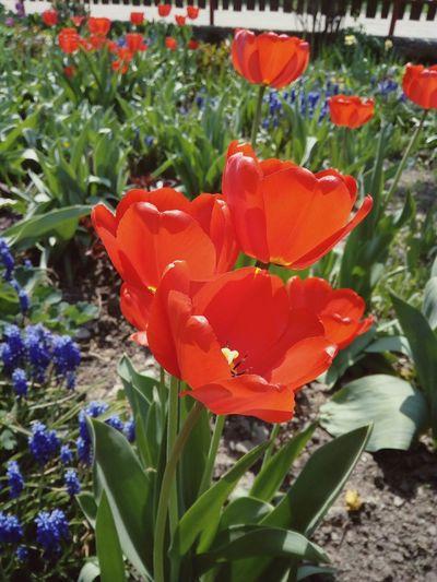 tulips Eye Em