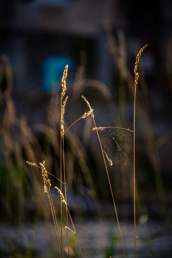 Beauty In Nature Cereal Plant Close-up Day Focus On Foreground Fragility Freshness Growth Lake Nature No People Outdoors Plant Summer Tranquility Water Wheat