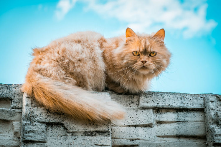 Portrait of ginger cat lying on a stone fence against blue sky