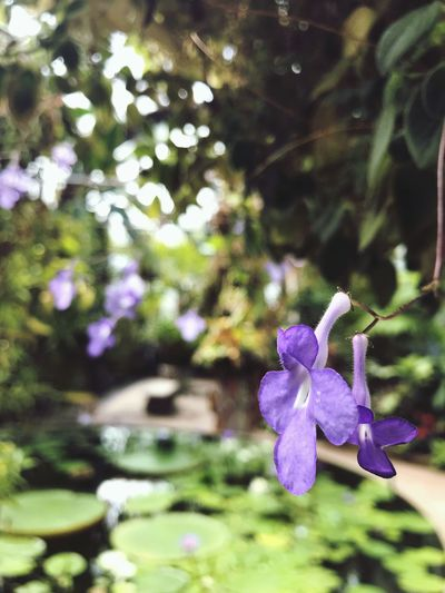 Greenhouse Plants Purple Flower IPhoneography Flower Fragility Nature Growth Petal Beauty In Nature Purple Focus On Foreground Plant No People Close-up Flower Head