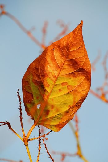 Morning Light Orange Color Imperfection Leaf Autumn Change Close-up Sky Plant Autumn Collection Fall