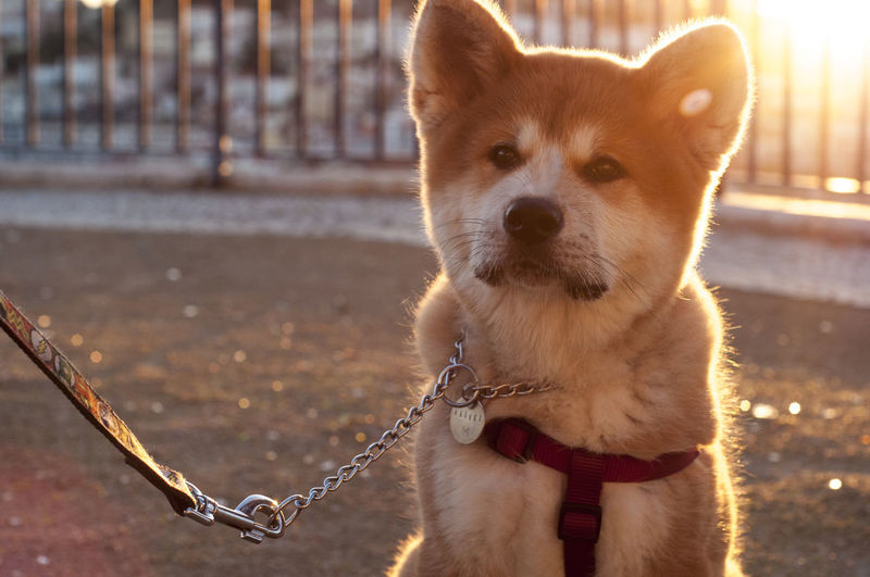 Close-up of shiba inu looking away on footpath during sunset