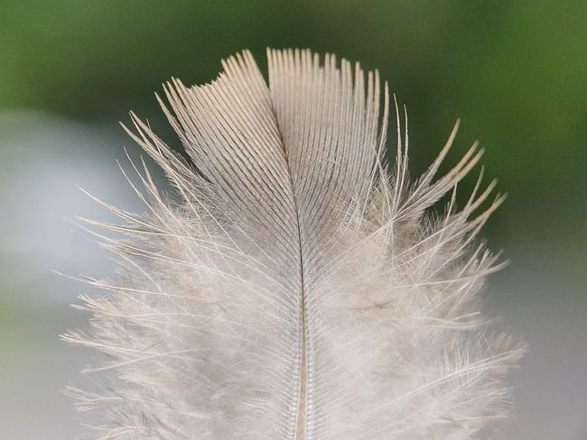 Feathers Macro Photography Macro Macro_collection Macro Nature Feathers Pegion Feather Nature Photography Nature_collection Naturelovers Fauna_collection Close-up Peacock Feather Animal Crest Feather