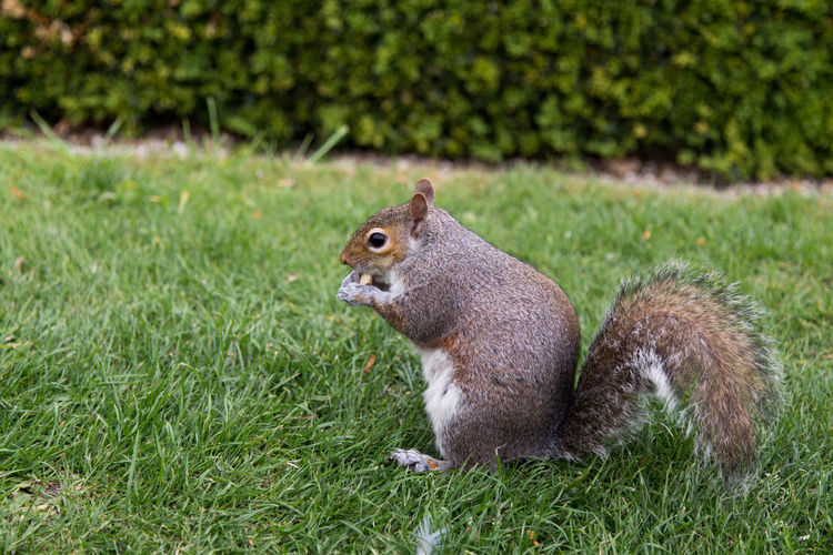 Squirrel on field
