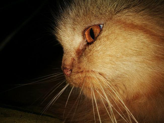Pets Portrait Domestic Cat Feline Close-up