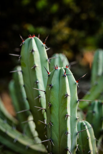 Cacti Green Color Plant Close-up Cactus No People Day Thorn Nature Sharp Spiky Outdoors Selective Focus Spiked Succulent Plant Cacti