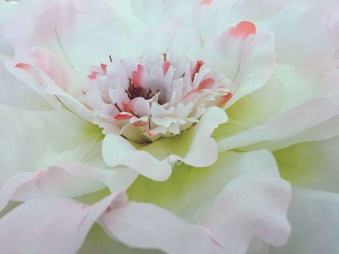 Flower Flowerporn Flower Petal Beautiful BIG White Pink