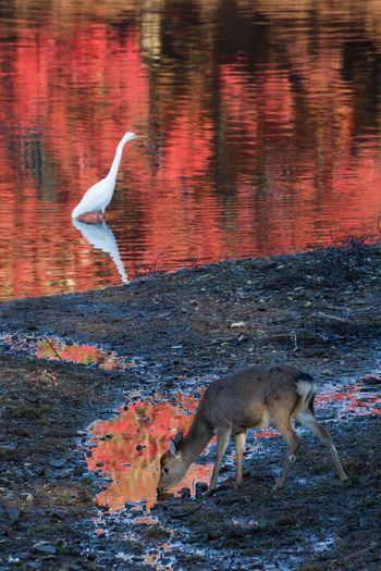 紅葉レフレクション 奈良市東大寺大仏池 Deer Nara Reflection Autumn Early Morning Japan Bird Water Spread Wings Flying Seagull Animal Themes Fall Lake 17.62° My Best Photo