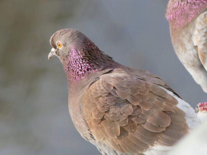pink pigeon ❤ Pigeon Bird  Pink Pigeon Beauty In Nature Best EyeEm Shot Bird Bird Of Prey Perching Winter Feather  Multi Colored Close-up HEAD Shining Profile Animal Head