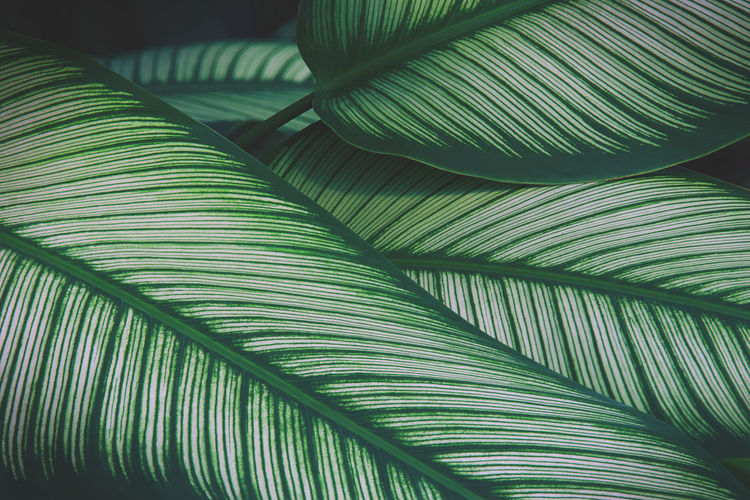 Tropical leaves of calathea plant natural pattern background