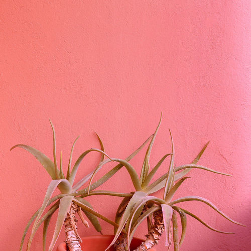 Plants on pink concept. aloe.