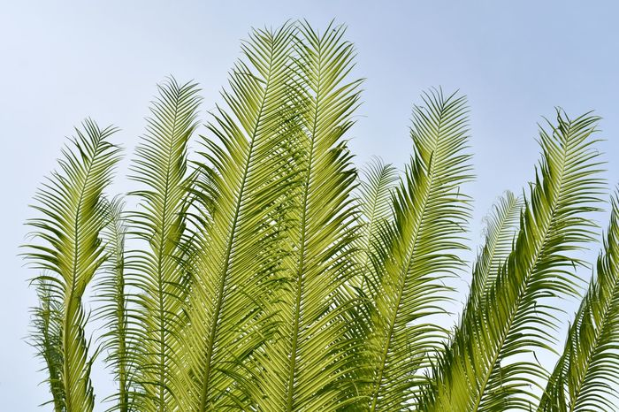 young green cobia leaves pattern as background Cobia Beauty In Nature Close-up Day Green Color Growth Leaf Low Angle View Nature No People Outdoors Plant Plant Part Tranquility
