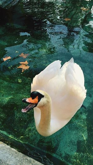 EyeEm Nature Lover Nature Photography Nature_collection Swan Swan Lake
