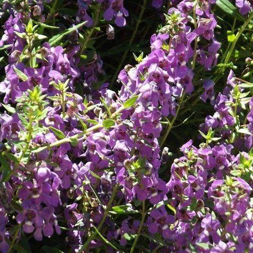 San Antonio Botanical Gardens Purple Statice