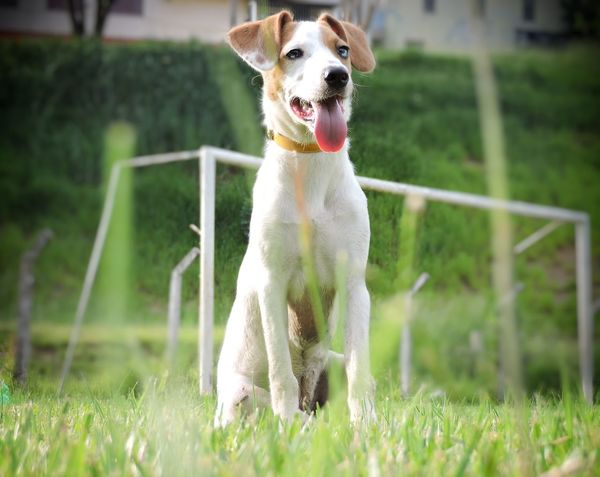 Pets One Animal Grass Mammal Green Color Dog No People Outdoors Animal Domestic Animals Animal Themes Nature Day Tranquility Amor Campinas Dogslife Dogs Of EyeEm Dog Portrait Dog Photography Close-up Puppy Photography Puppy Love Puppyeyes