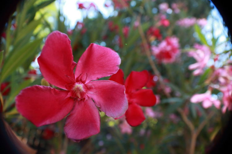 Oleander in to