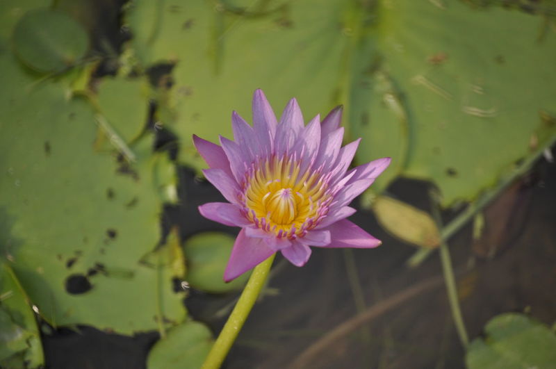 Flower Freshness Water Lily Water Fragility Pond Flower Head Petal Growth Lake Purple Lotus Water Lily Beauty In Nature Single Flower Simplicity Stem Nature Floating On Water Close-up Plant