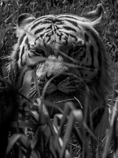 Nature Vibes | Big Cats lurking in the field Wildlife Nature Tiger Bengal Tigers Animals In The Wild One Animal Animal Themes Animal Wildlife Tiger No People Nature Day Portrait Outdoors Close-up
