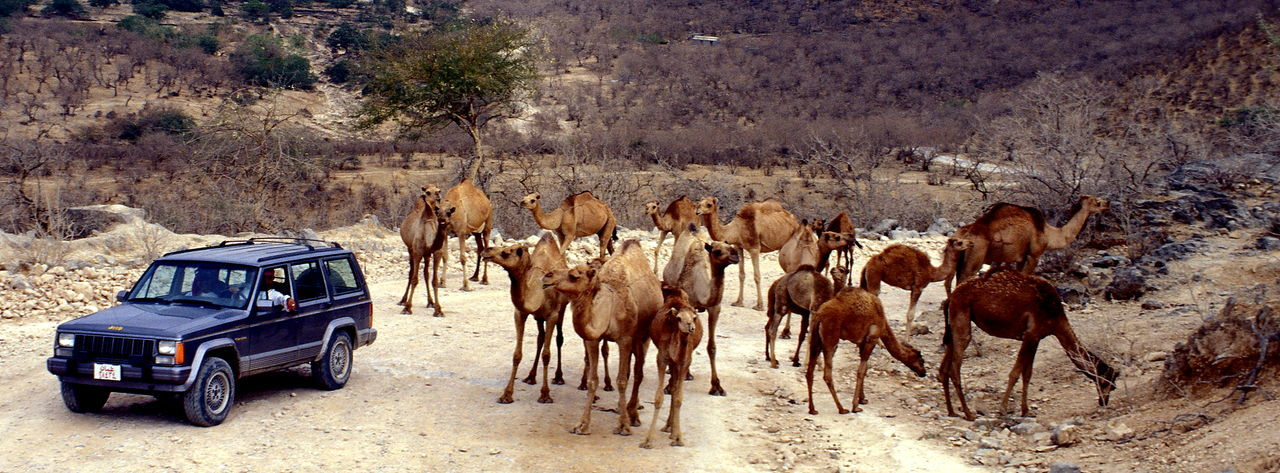 4x4 4x4 And Camels Animal Themes Animals Barren Barren Land Barren Landscape Barren Nature Camels Camels And 4x4 Car Grazing Grazing Camels Nature Wild