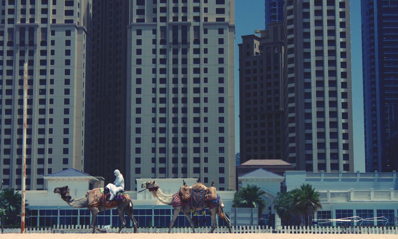 Person riding camel against skyscrapers in dubai marina