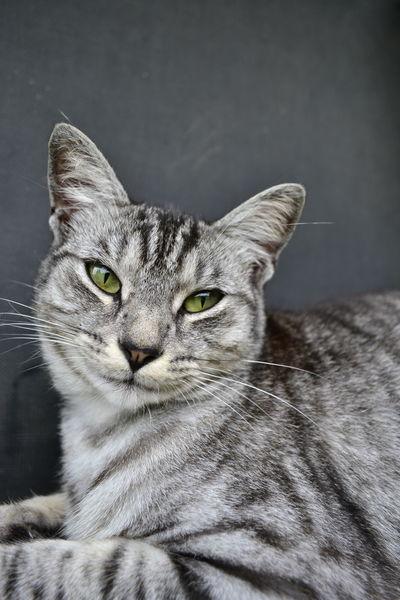 Tiger Cat Domestic Cat Tabby Cat Animals Pets Animal Portrait Cat Portait Portrait Pet Portraits