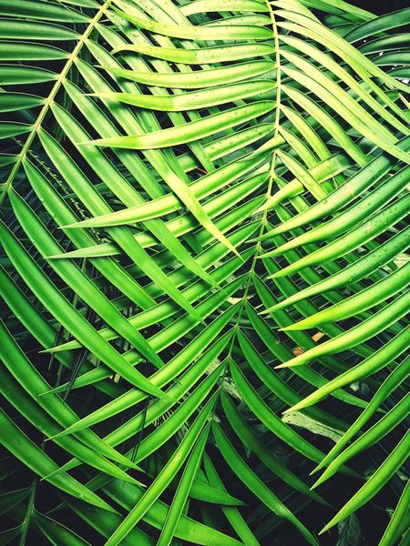 Green Color Leaf Nature Growth Beauty In Nature Day Full Frame Close-up Outdoors Plant No People Freshness Backgrounds Fragility Palm Tree Botanical Gardens Royal Botanic Gardens Scotland Tropical Climate Beauty In Nature Tree Wallpaper Background Textured  The Week On EyeEm