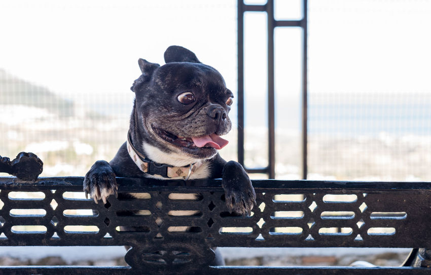 French Bulldog with funny face on the bench looking away Dogs Animal Animal Themes Black Color Canine Day Dog Dog Head Shot Domestic Domestic Animals Focus On Foreground French Bulldog Funny Faces Funny Looking Dog Looking Looking Away Mammal No People On The Bench One Animal Pets Seat Small Ugly Face