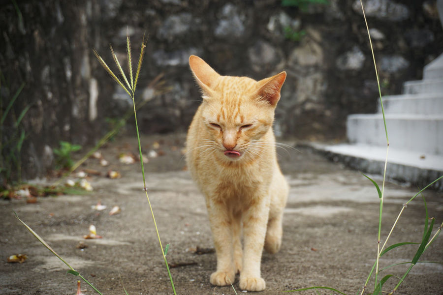 2017 Cat Cute Day Domestic Animals Domestic Cat Ginger Cat Grass Laos Luang Phabang Luang Prabang Mammal One Animal Outdoors Pet Pets Portrait Wild ラオス ルアンパバーン 猫