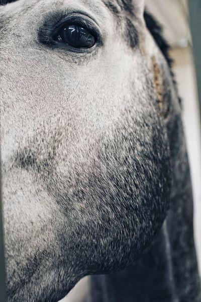 Grey horse looks at you - suspicious Swinginginaplumtree Feeding Horses Horse Farm Farm White Horse Portrait White Horse Pferd Beautiful Horse Horse Wonderful Horse Head Horse Photography  Close-up Body Part Human Body Part One Person Portrait Real People Lifestyles Headshot Looking At Camera