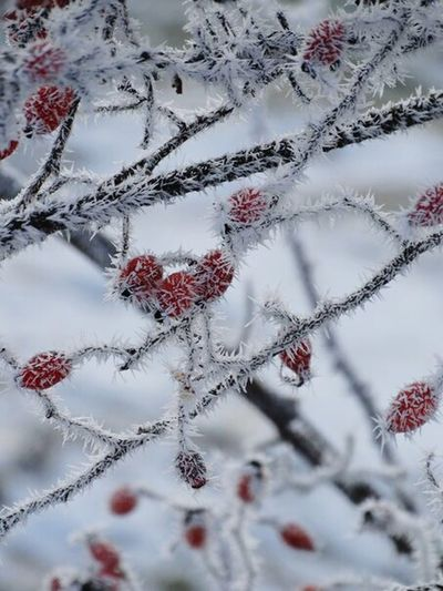 Winter Cold Temperature Branch Snow Nature Close-up Tree Red Frost No People Full Frame Beauty In Nature Outdoors Day Backgrounds Ice