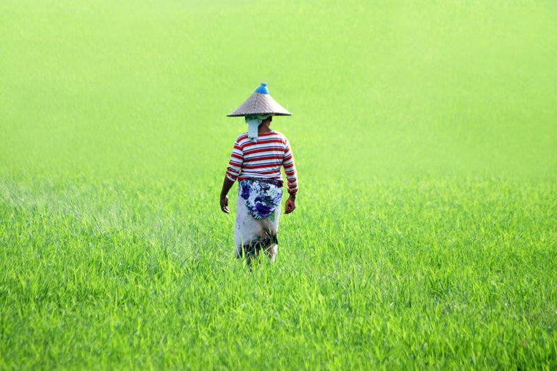 Person Walking In Rice Field