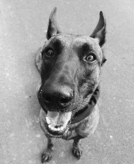 Blackandwhite Dog Ultrawideangle Cute Pets Malinois Pets Catsanddogs Perspective Canonphotography