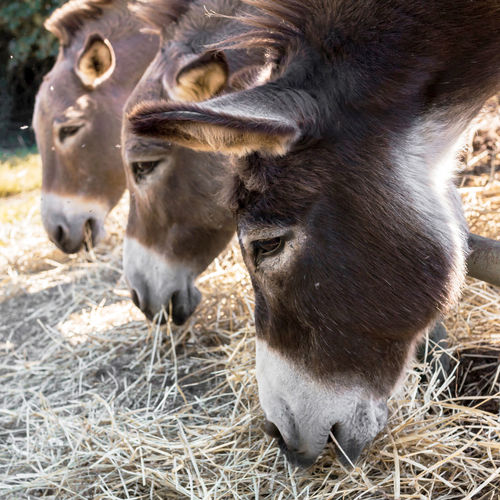 Close-Up Of Donkeys Grazing